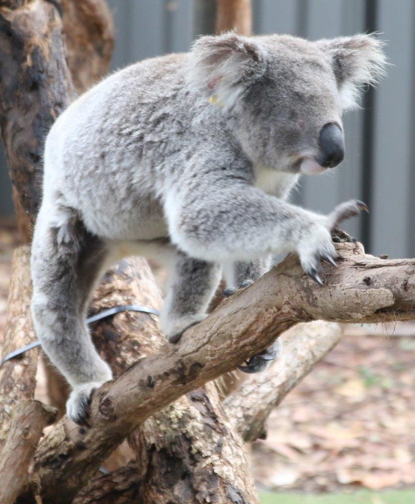 Port Macquarie : hôpital pour koalas et rochers peints