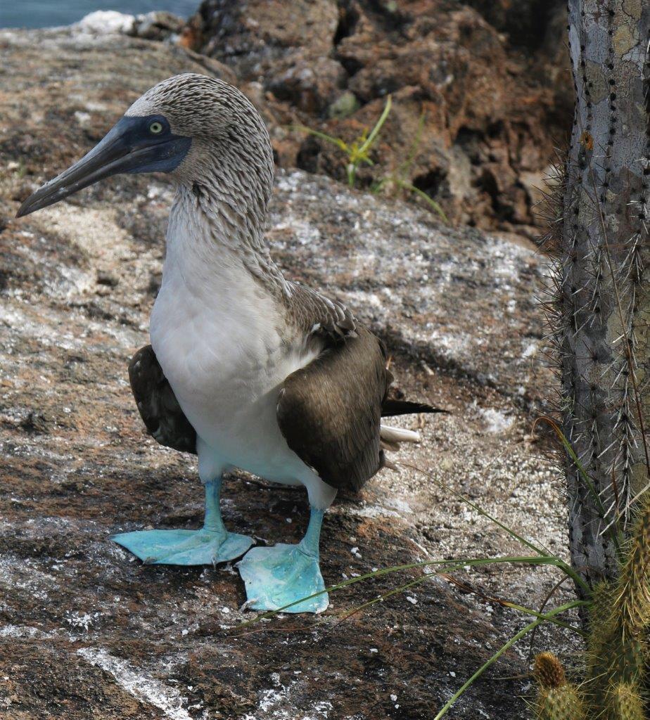 Galápagos : les fous à pieds bleus de Los Tuneles à Isla Isabela