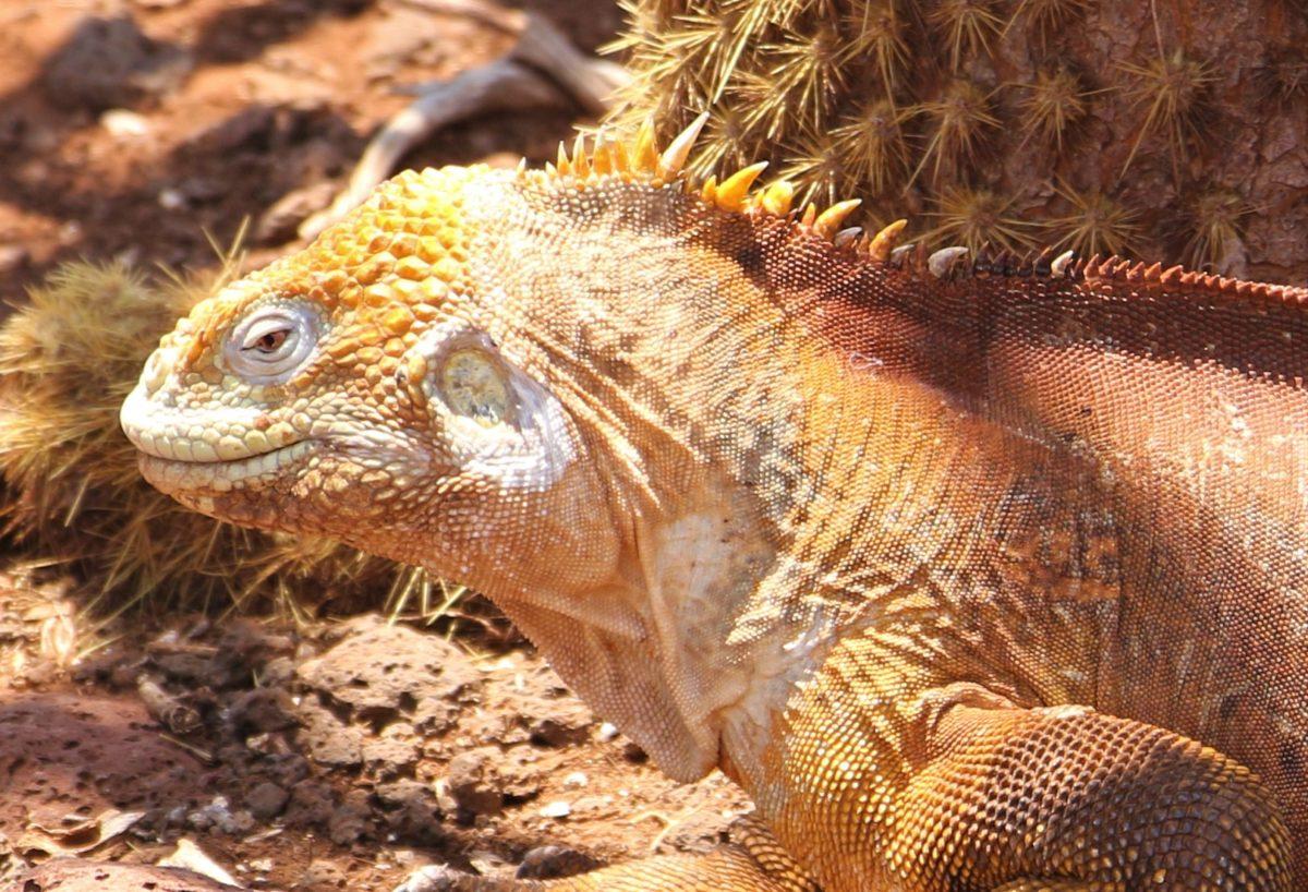 Galápagos : les frégates, les iguanes terrestres d'Isla Seymour et une super soirée avec Beat et Sarah